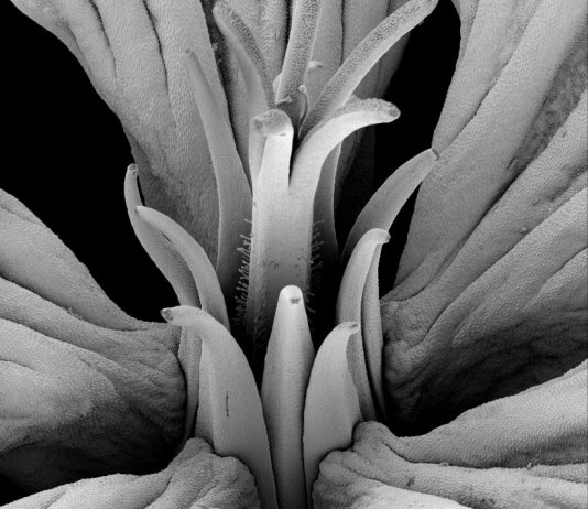SEM micrograph of an anthetic Geranium maderense flower showing the complex synorganisation and revolver architecture.