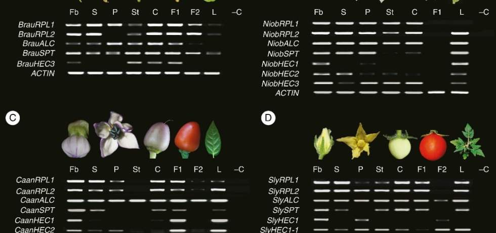 Expression analyses of ALCATRAZ, HECATE, REPLUMLESS and SPATULA homologues in four species of Solanaceae with dry dehiscent and fleshy fruits.