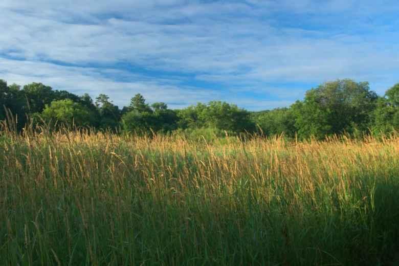 Reed canary grass, Phalaris arundinacea