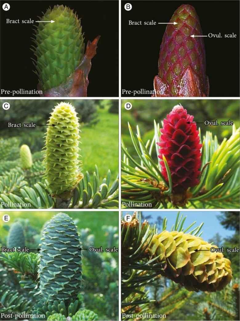 Morphological development inAbies koreanaandPicea jezoensisseed cones.