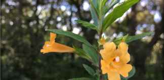 Mimulus aurantiacus, the sticky monkeyflowe
