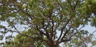 Afzelia Africana tree