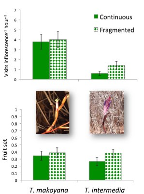 Pollinator visitation rates and fruit set of two Mexican dry forest Tillandsia species