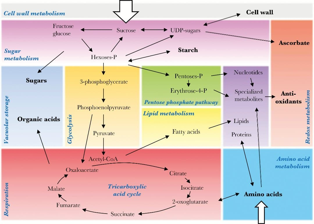 Primary Metabolism As A Major Component Of Fruit Growth And Quality Seed Germination Diagram Pathways Compounds Involved In Are Represented Sucrose Amino Acids Represent The Imported Pools