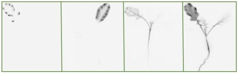 Variation in 2,4-D movement in plants from different 2,4-D-resistant populations