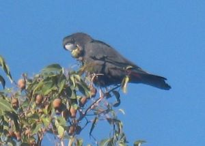 A red-tailed black cockatoo