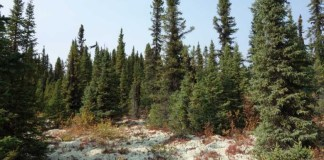 Conifer forest of black spruce and Jack pine.