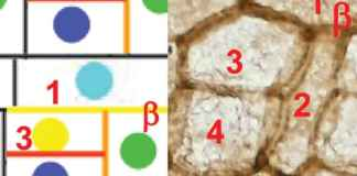 Moss cells and diagram