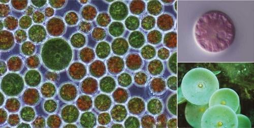 Algae with large plastomes