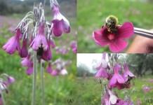 Pollinators of Primula secundiflora