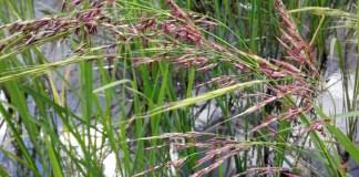 Wild Zizania latifolia plant