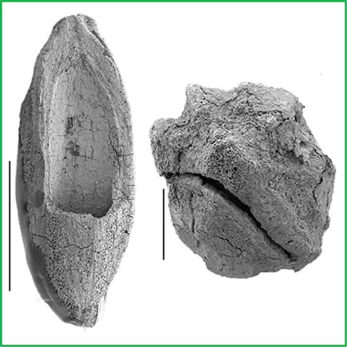 Eydeia jerseyensis
