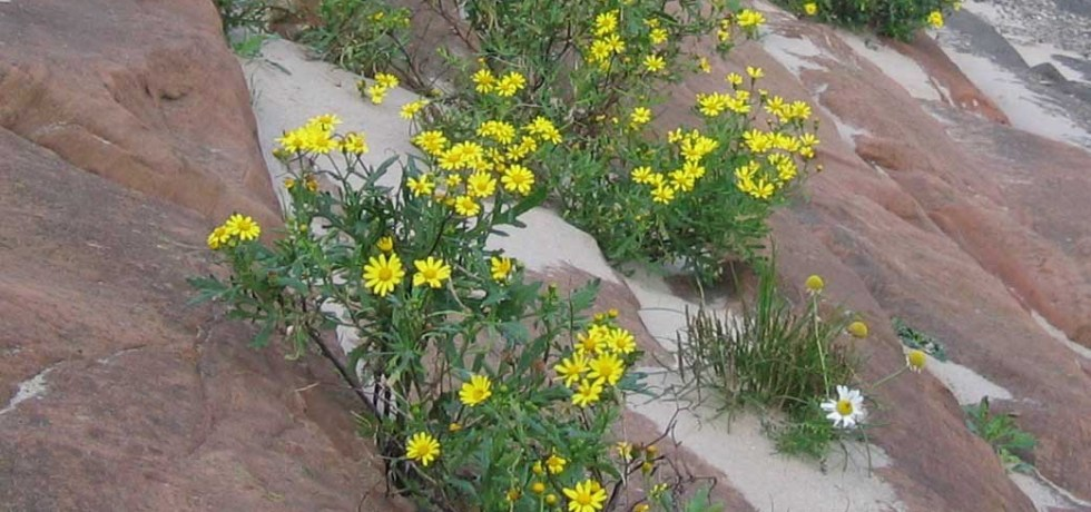 The hybrid ragwort species Senecio squalidus