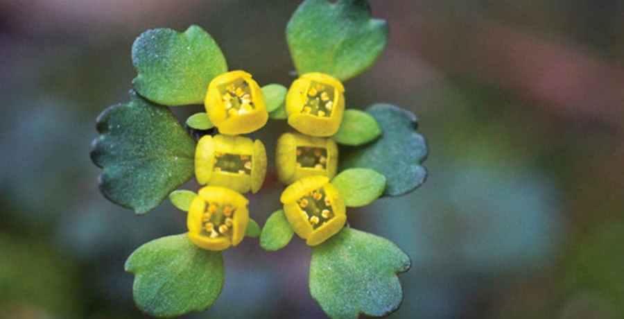 Chrysosplenium ramosissimum