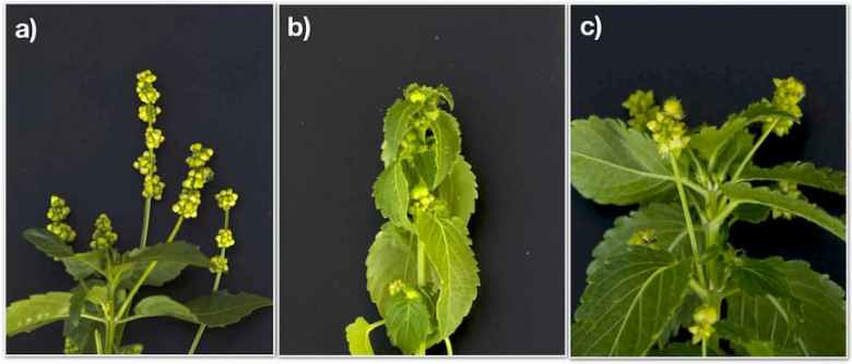 Images of three different sexual phenotypes of hexaploid M. annua