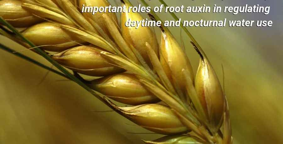 These findings shed light on potentially important roles of root auxin in regulating daytime and nocturnal water use