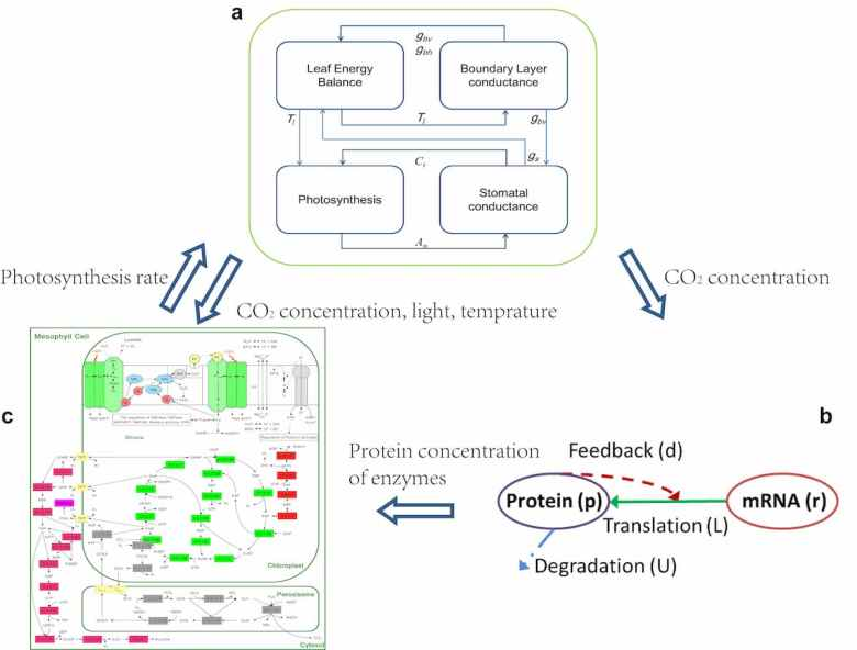 a multiscale model of soybean leaf photosynthesis
