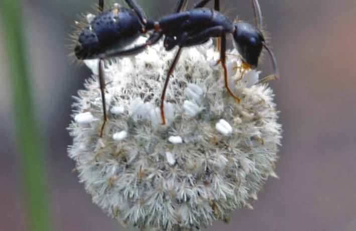 Ant on a flowerhead