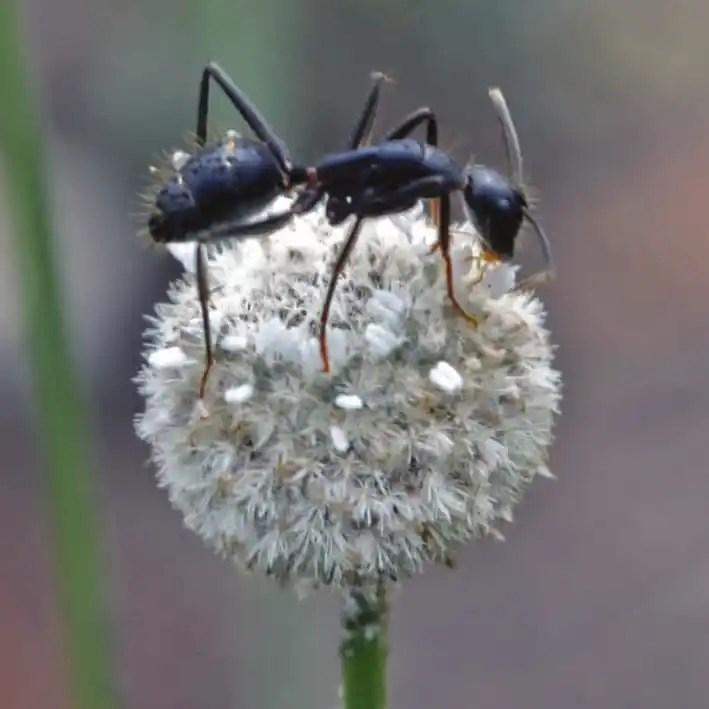 Ant on a flowerhead