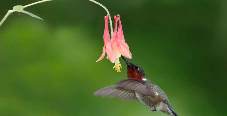 Hummingbird at a columbine