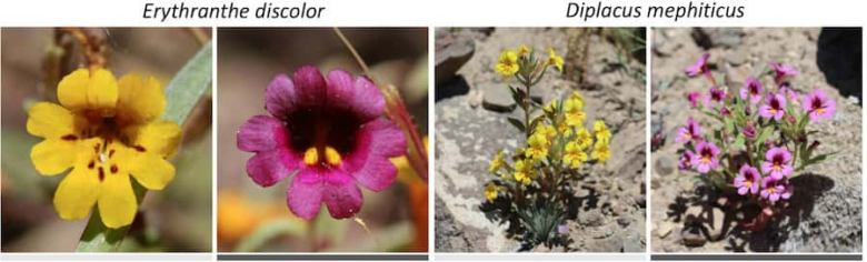 Two pairs of yellow and pink flowers. The colours are very distinct.