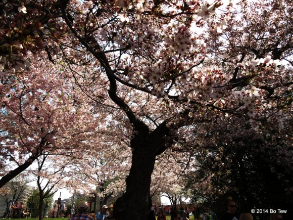 Under a Cherry Tree.