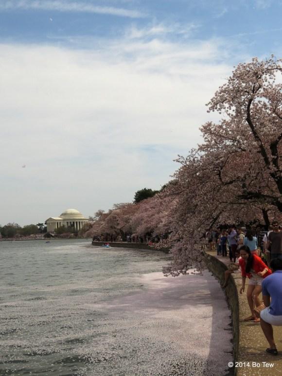 Sakura petals littered the Tidal Basin.
