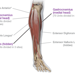 Medial Lower Leg Muscles Diagram Lutron Wiring Limb Spasticity Dosing And Administration Botox Anterior View