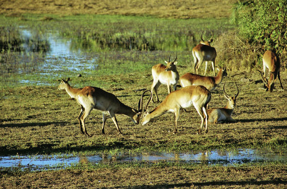 botswana safaris mating rituals