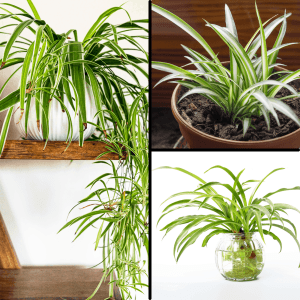 Spider plant 3 stages of growth