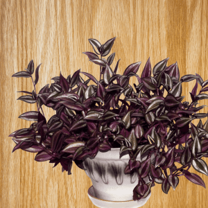 Wandering jew plant in pot
