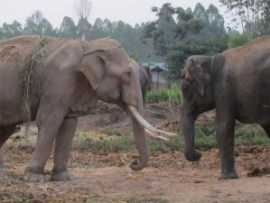 Elephants chained in the Surin Elephant Study Center