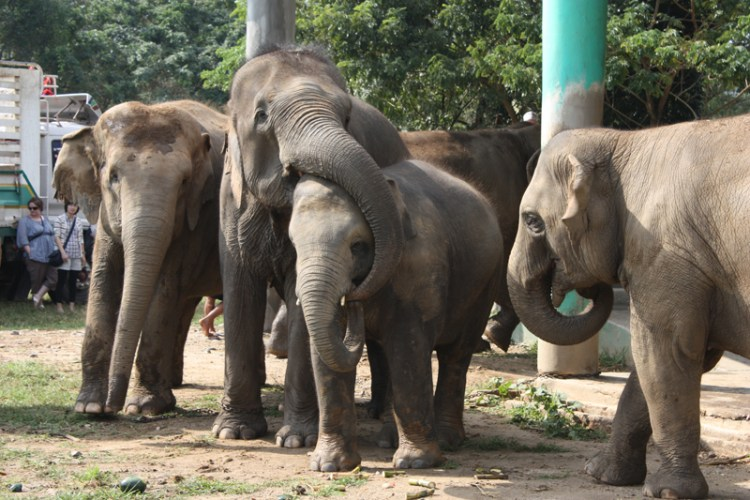Lucky meeting the family group at Elephant Nature Park