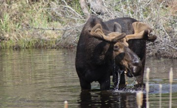 Male moose sighting