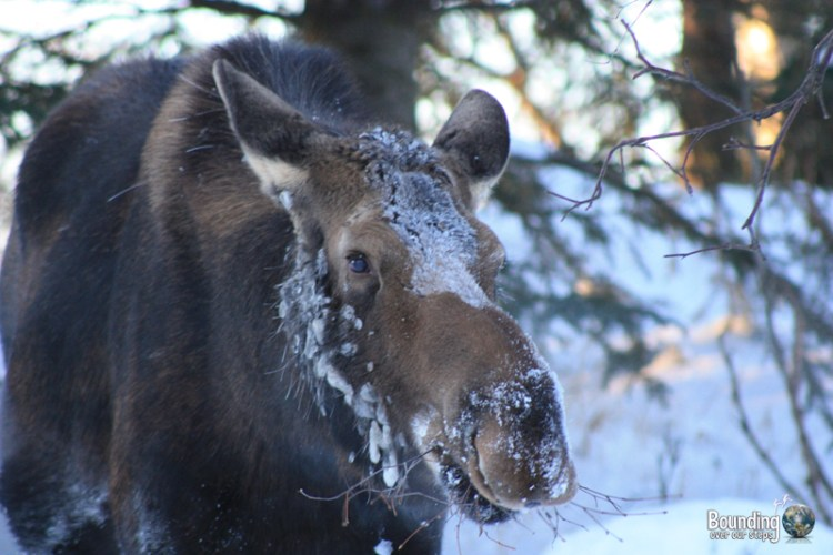 Female moose in Kincaid Park, Alaska