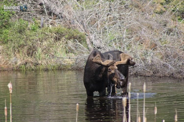 Male moose in Algonquin Provincial Park, Ontario