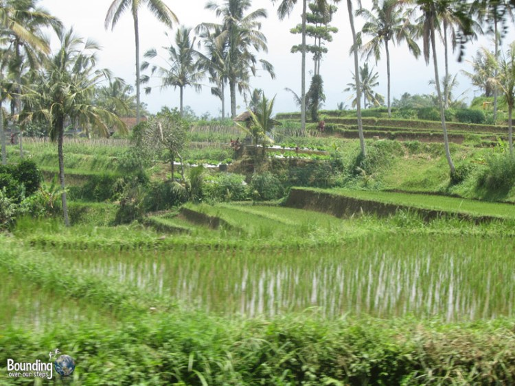 Singaraja to Ubud in a Fruit Truck - Rice Terraces