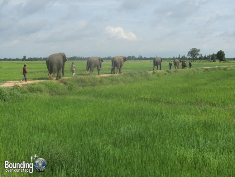 Surin Project - Elephant Walk