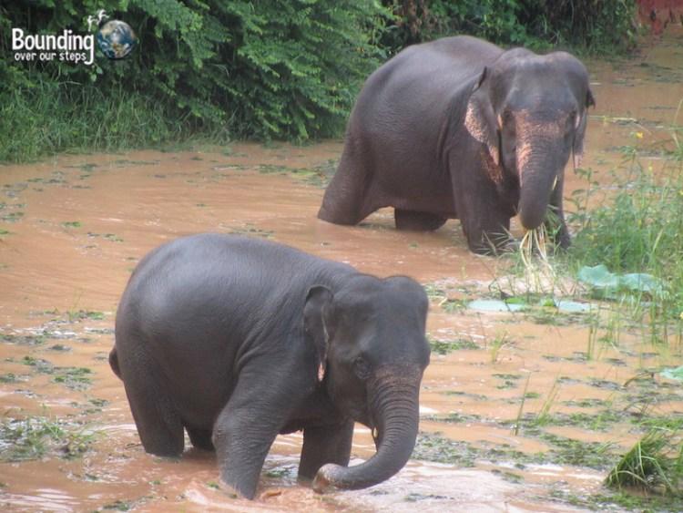 Surin Project - Elephants in Water
