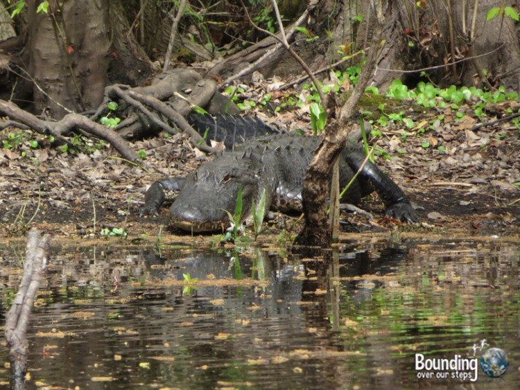 Canoeing Hillsborough River - Big Alligator