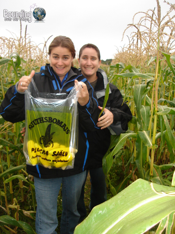 Picking our own corn in Grimstad, Norway