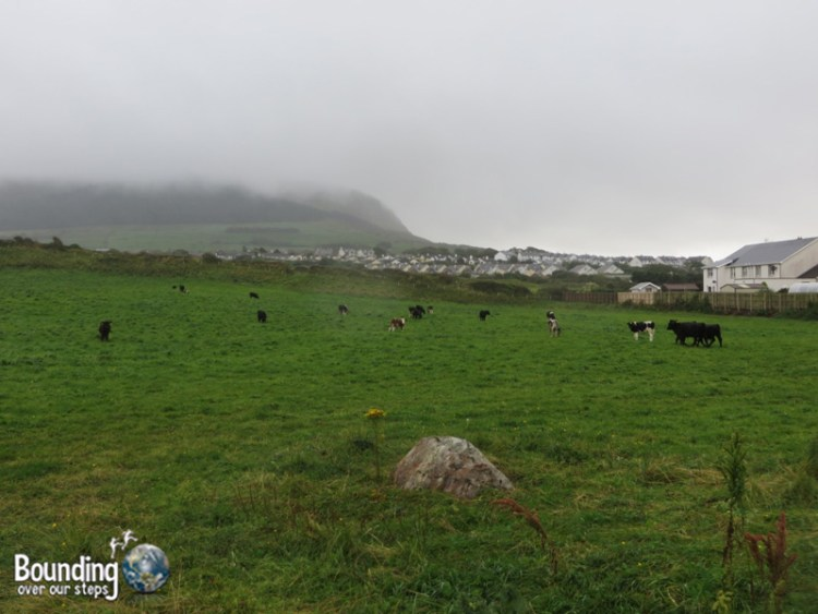 Cows in the field off Airport Road with Knocknarea in the background