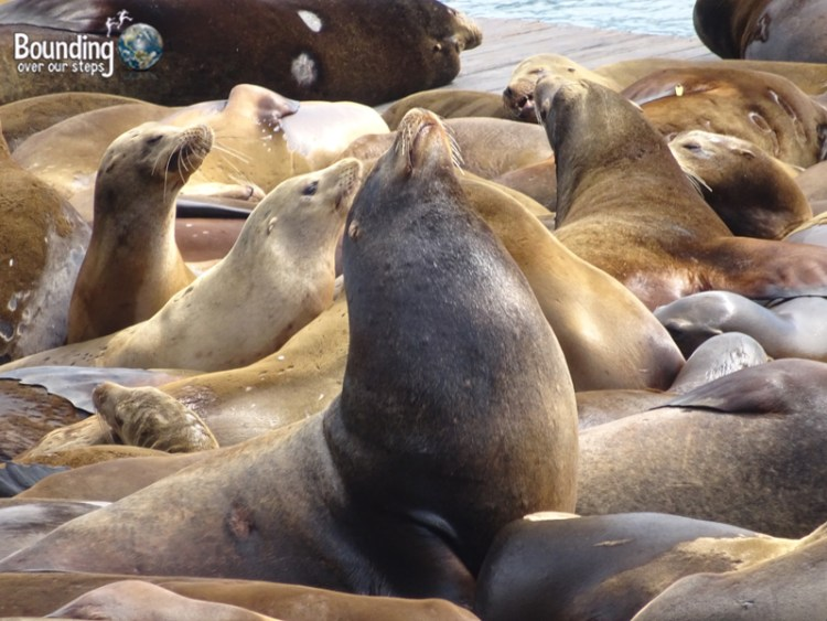 Free Things in San Francisco - More Sea Lions