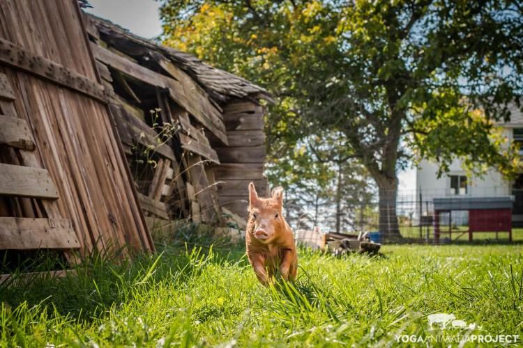 Little Dude, Barn Sanctuary