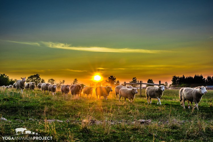 Sunset Sheep Flock, Farm Sanctuary
