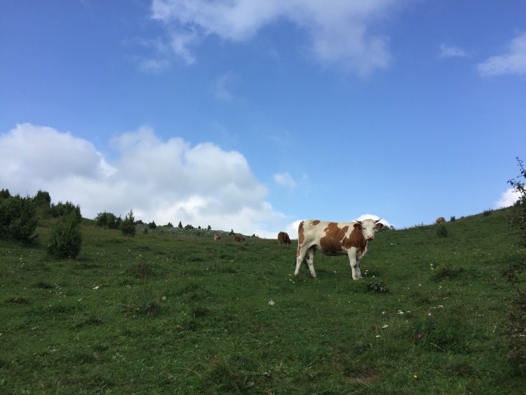 Uvac River Hike - Cow saying hello