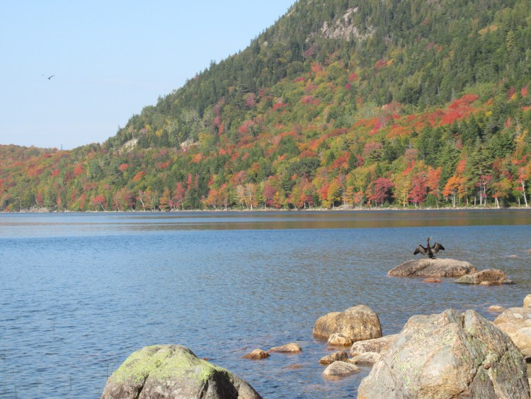 Jordan Pond Acadia National Park - Cormorant enjoying the foliage at Jordan Pond