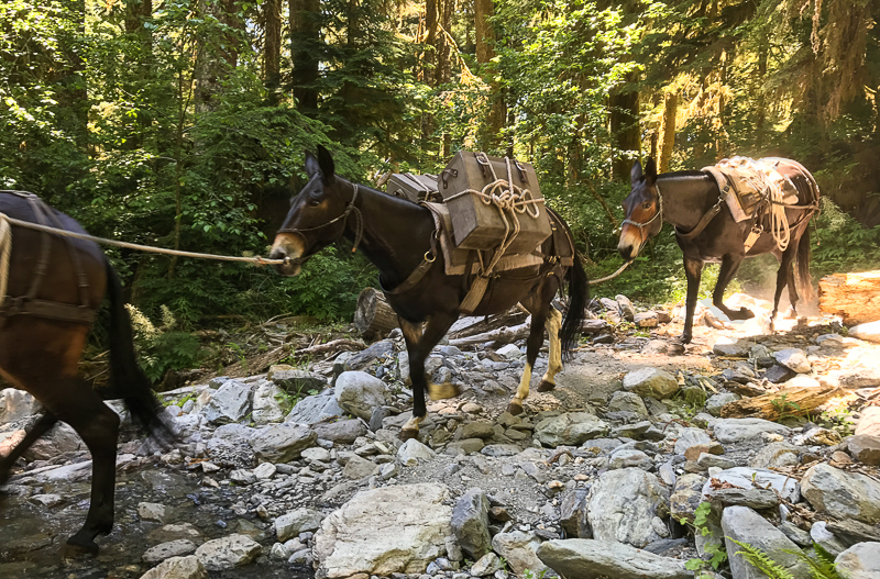 Pack mules carrying loads to the Enchanted Valley in Olympic National Park, Washington.