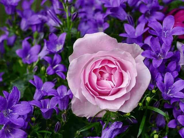 اجمل صور الورود الرومانسية الذي يعتبر من اجمل الزهور الطبيعية في العالم