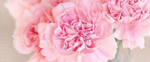 varios claveles con petalos rosas
